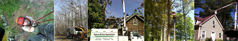Spicer Tree tree services