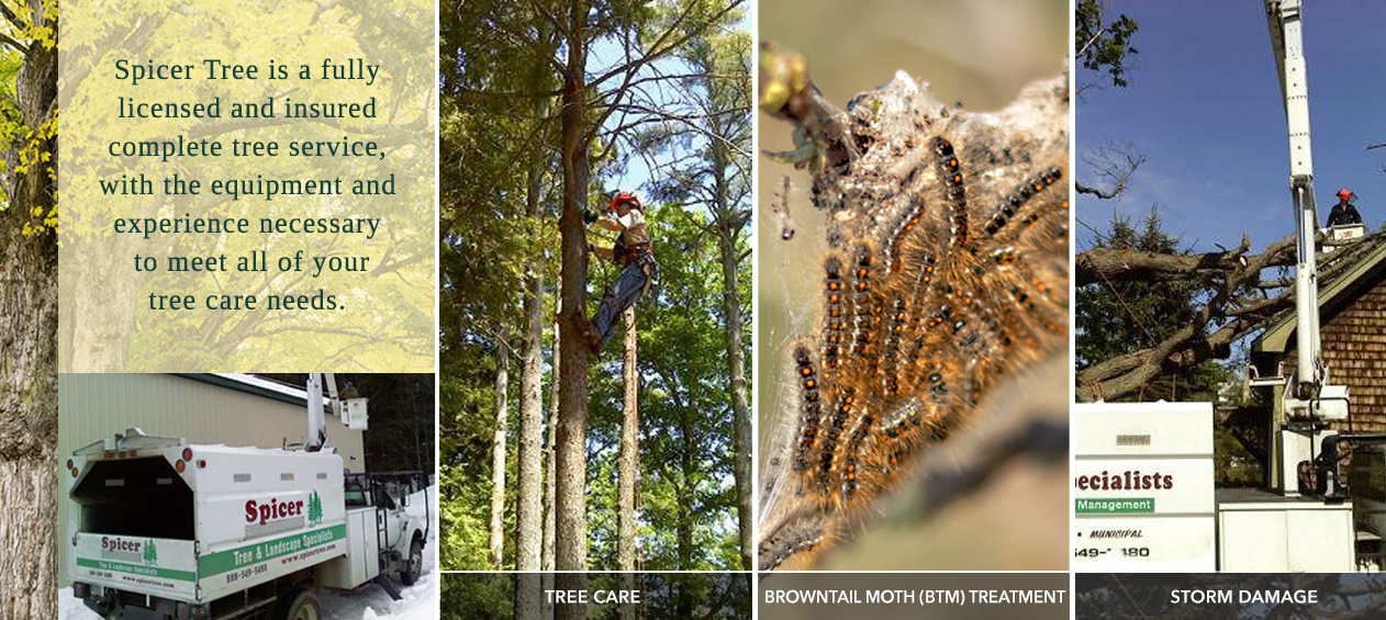 Spicer Tree is a fully licensed and insured complete tree service, tree storm damage, brown tail moth (BTM) treatments with the equipment and experience necessary to meet all of your tree care needs.