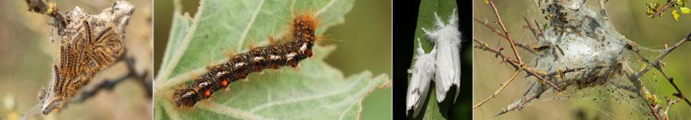 brown tail moth (BTM) treatment