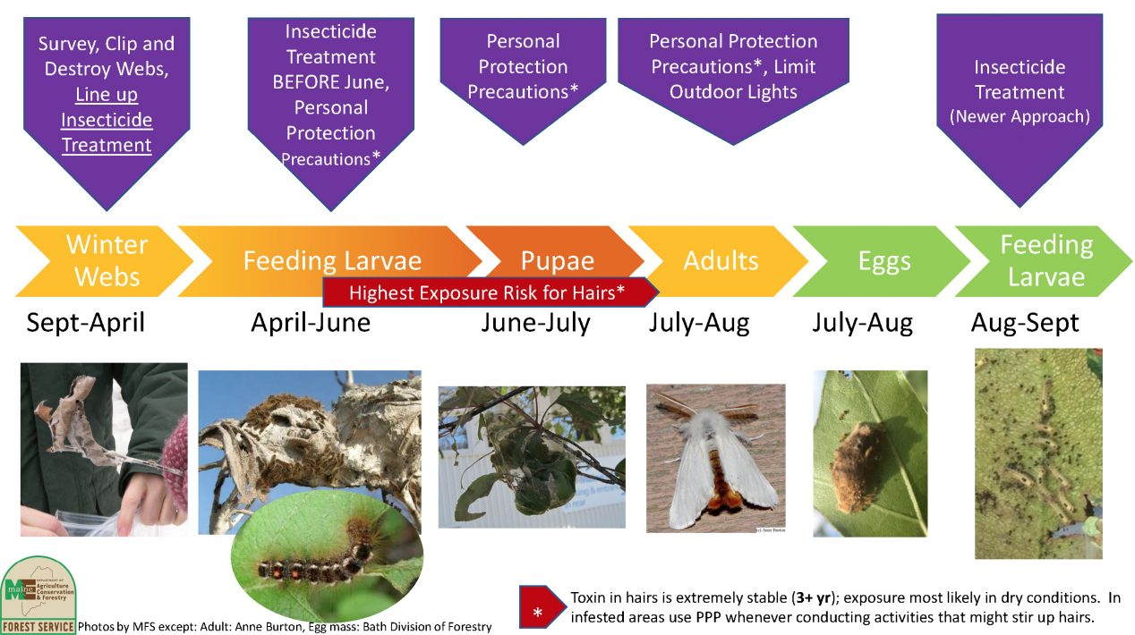 Life cycle of brown tail moth